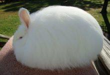 تصویر از خرگوش آنگورا