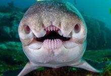 تصویر از یکی از ترسناک ترین موجودات آبزی کوسه پورت جکسون