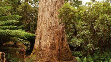 تصویر از 10 تا از بلندترین درختان جهان