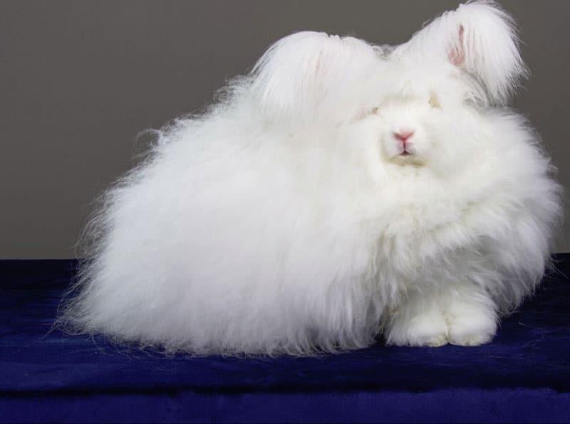 خرگوش آنگورا