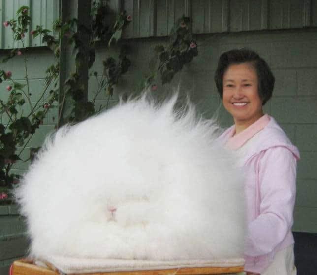 خرگوش آنگورا انگلیسی