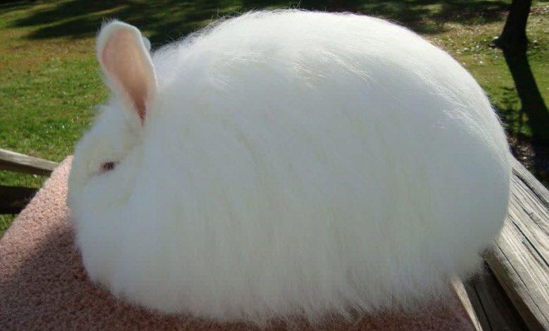 خرگوش آنگورا غول پیکر