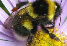 تصویر از نقش کلیدی زنبور عسل در بقای بشر