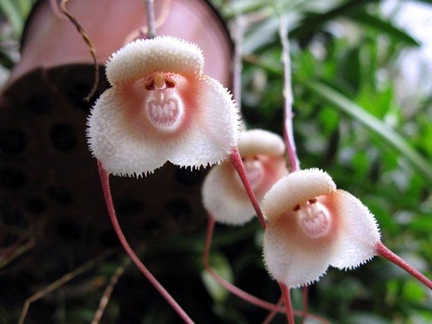 دراکولا سیمیا یکی از زیباترین گل های جهان