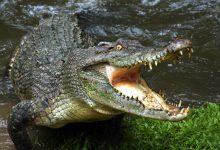 تصویر از تمساح ها از پیری نمی میرند و تا ابد زنده می مانند