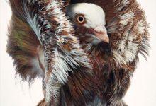 تصویر از کبوتر جاکوبین قرمز زیباترین پرنده جهان