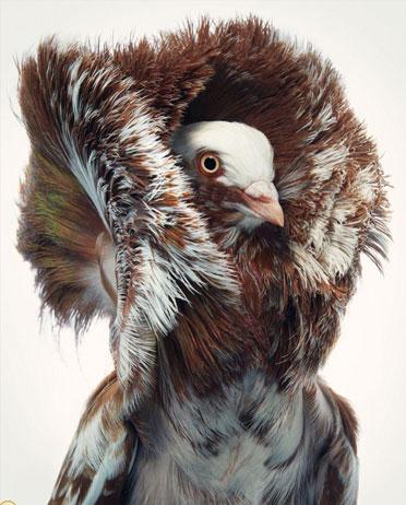 کبوتر جاکوبین