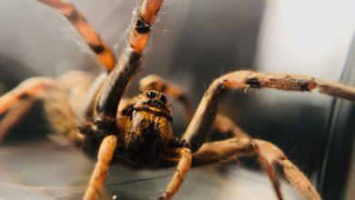 تصویر از چگونه عنکبوت ها ابریشم خود را می سازند : لباس های ضدگلوله از ماده اصلی تارعنکبوت