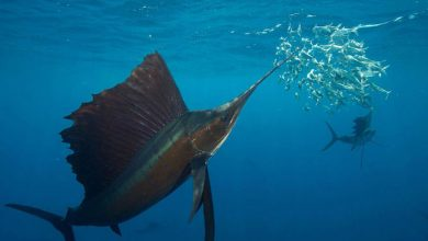 تصویر از سریعترین ماهی در اقیانوس چیست؟