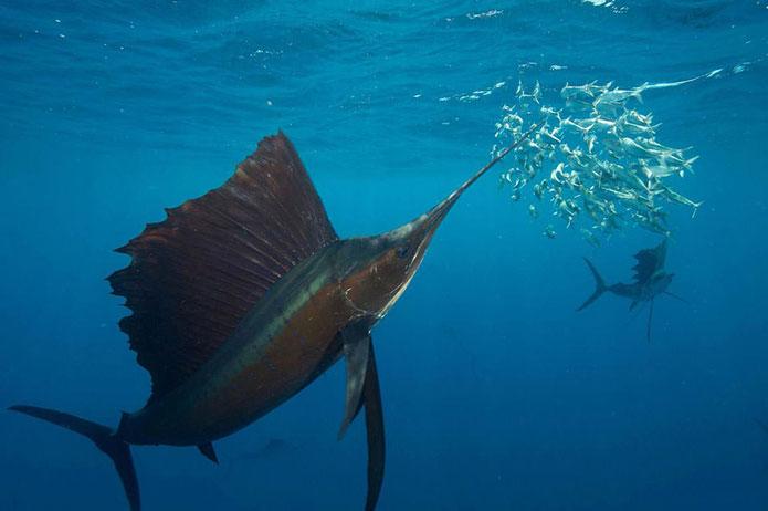 سریعترین ماهی در اقیانوس چیست