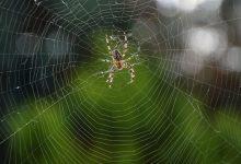 تصویر از چرا عنکبوت در شبکه خودش گیر نمی کند؟