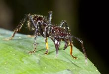 تصویر از مورچه گلوله ای : حشره ای با دردناک ترین نیش جهان